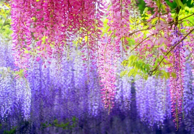 Magnificent Colors of Wisteria