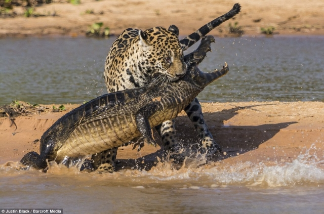 Amazing Jaguar Hunting Crocodile While Sleeping | Big Battle Animals Real