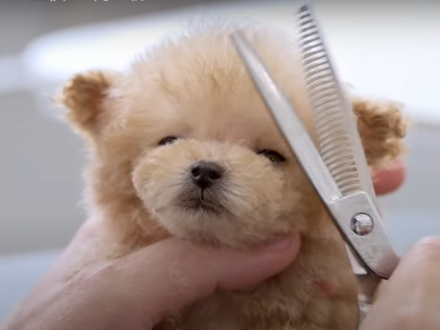 A very small puppy grooming for the first time at 3 months of age